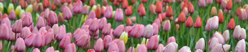 tulpen sfeerfoto