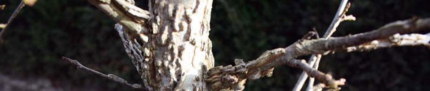 Amberbaum 'Liquidambar styraciflua' pflegen