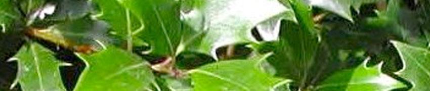 Duftblüte Pflegeanleitung
