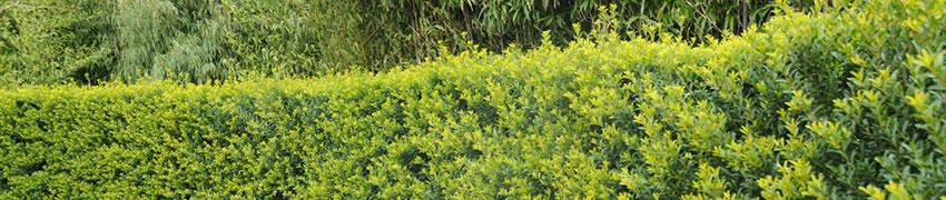 Ilex crenata: starker Buchsbaum-Ersatz