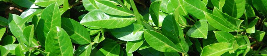 Heckenpflanzen schnellwachsend