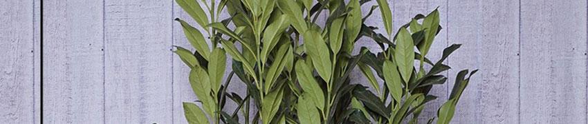 Der Kirschlorbeer 'Elly'® Bei Heckenpflanzendirekt.ch