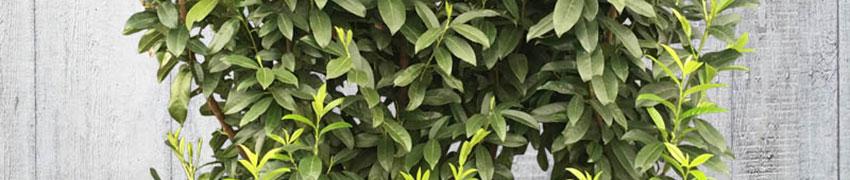 Kirschlorbeer 'Genolia' mit Wurzelballen