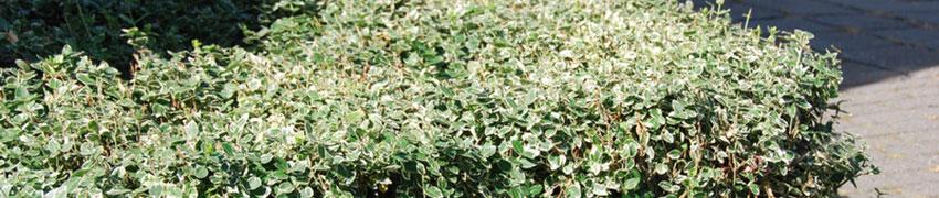 Kriechspindel über Heckenpflanzendirekt.ch kaufen