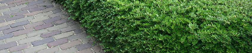Lonicera nitida als Buchsbaum-Ersatz