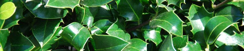 Stechpalme 'Alaska' als Heckenpflanze