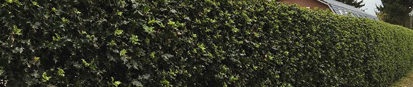 Stechpalme 'Alaska' online kaufen