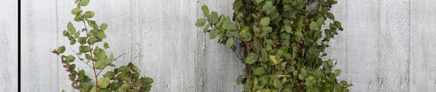 Amethystbeere 'Magic Berry' auf Heckenfpflanzendirekt.ch bestellen