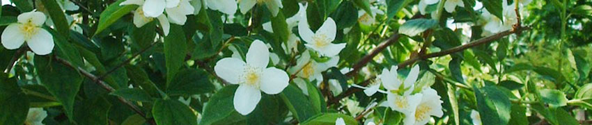 Gefüllter Gartenjasmin auf Heckenpflanzendirekt.at bestellen