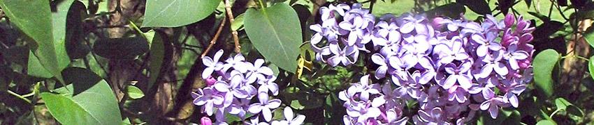 Gemeiner Flieder im Garten