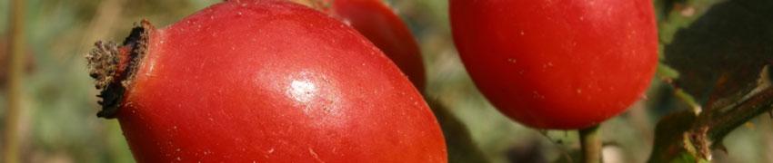 Heckenrose über Heckenpflanzendirekt.ch kaufen