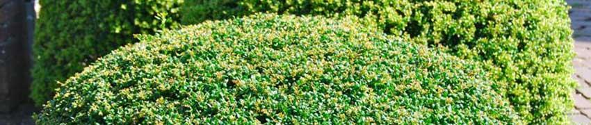 Japanische Stechpalme Varietäten