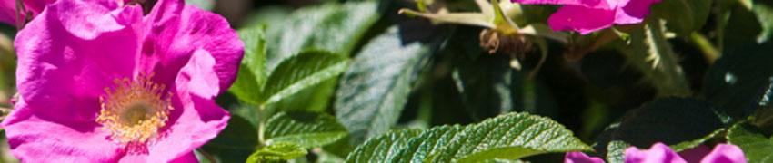 Kartoffelrose, Apfelrose Hintergrund