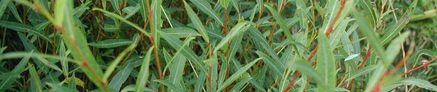 Niedrige Purpur-Weide Eigenschaften