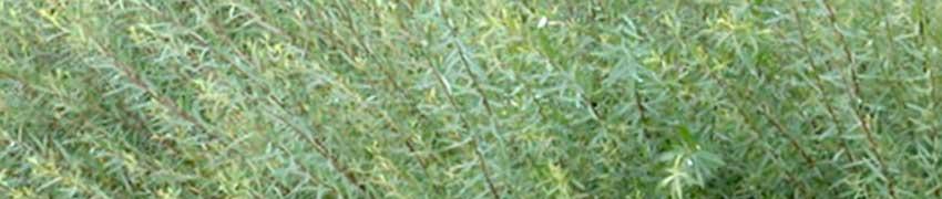 Niedrige Purpur-Weide auf Heckenpflanzendirekt.ch kaufen