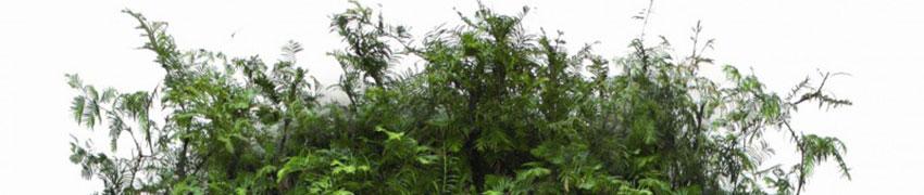 Urweltmammutbaum im Garten