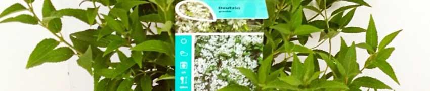 Zierliche Deutzie auf Heckenpflanzendirekt.ch kaufen