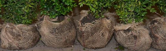 Pflanzen mit wurzelballen
