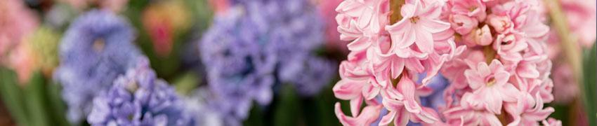 Hyacinten tuin