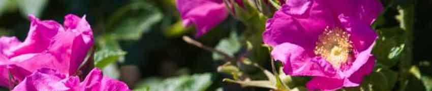 Kartoffelrose (Apfelrose) im Garten