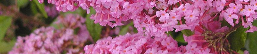 Blühende Heckenpflanzen nach Art