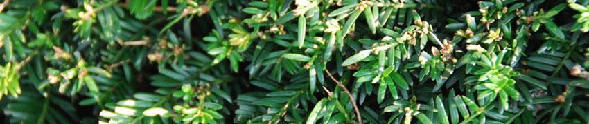 Heckenpflanzen ungiftig & giftig