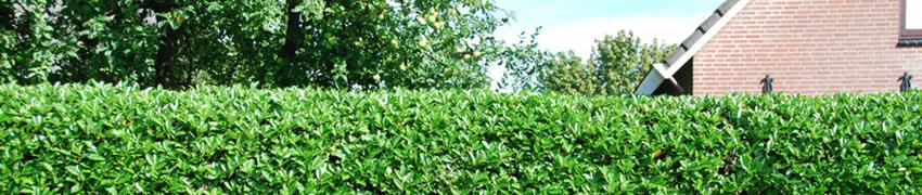 Kirschlorbeer Hecke