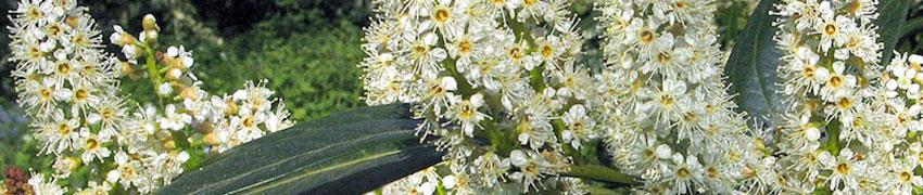 Kirschlorbeer pflanzen und schneiden