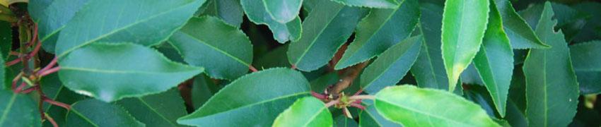 Kirschlorbeer: Prunus l.