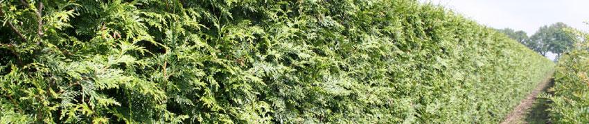 Lebensbaum - Koniferen Thuja