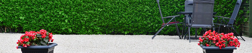 Liguster Hecke pflanzen