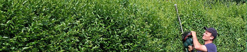 Schnittverträgliche Heckenpflanzen kaufen