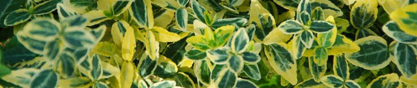 Winterharte Heckenpflanzen
