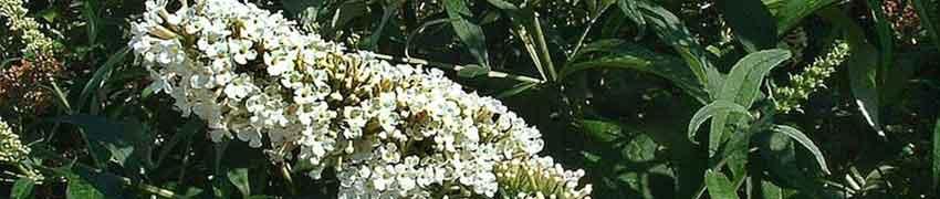 Schmetterlingsstrauch bestellen